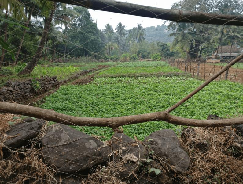 Konkan Fields